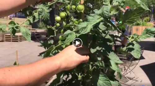 Capsule 11 - La taille des plantes aux Jardins Gamelin